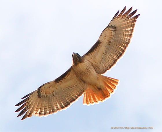 Cincinnati LEED Platinum office - Redtail hawk